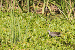 Brazoria County, Damon, Texas; a juvenile Common Moorhen chick foraging for food amongst the water plants on the surface of the slough