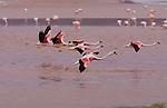 Andean flamingos (Phoenicopterus andinus), Eduardo Avaroa National Andean Fauna Reserve, Bolivia <br /> Canon EOS 5D<br /> EF400mm f/4 DO IS USM +1.4x<br /> April 2006