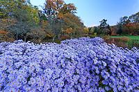 France, Allier (03), Villeneuve-sur-Allier, Arboretum de Balaine en automne, aster d'automne