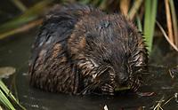 Muskrat (Ondatra zibethicus). Anchorage, Alaska. Photo by James R. Evans