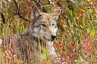 Portrait of a gray wolf resting in the autumn tundra grasses in Denali National Park, Interior, Alaska.