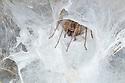 Madeira Funnel Web Spider {Tegenaria maderiana} in extensive web. Madeira, April.