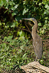 Monkey River, Belize, Central America; a Bare-throated Tiger-Heron (Tigrisoma mexicanum) stands at the edge of the Monkey River in bright sunlight , Copyright © Matthew Meier, matthewmeierphoto.com All Rights Reserved