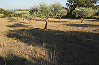 Europe/France/Languedoc-Roussillon/30/Gard :Oliviers  au  Site  du  Pont du Gard - Mémoire de Garrigue,  consacré au Paysage méditerranéen