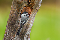 Black-capped Chickadee (Parus atricapillus) in nesting cavity. Spring. Lake Ontario.