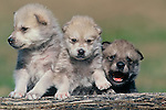 Three gray wolf pup (Canis lupus) siblings play in a controlled environment at the Prairie Wind Wildlife Refuge, east of Castlerock, Colorado.