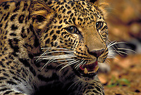 African Leopard adult