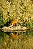 Red fox, Vulpes fulva, on rock beside pond on summer afternooon, Missouri USA