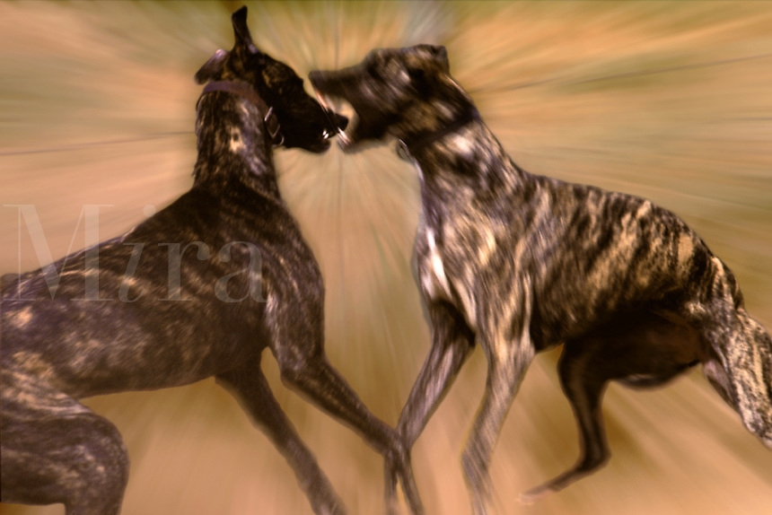 Two brindle Greyhound dogs fighting.