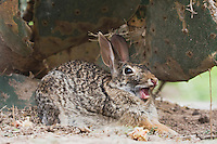 Eastern Cottontail (Sylvilagus floridanus), adult yawning, Rio Grande Valley, Texas, USA