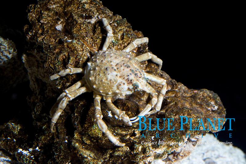 Common Spider Crab ( Libinia emarginata ) (c)
