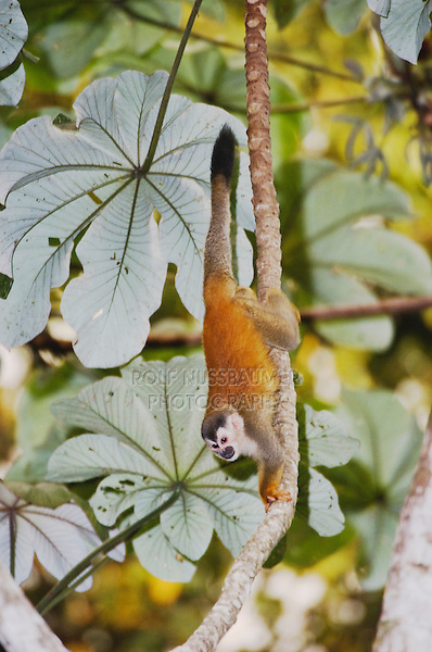 Central American Squirrel Monkey, Saimiri oerstedii , adult in Cecropia Tree, Manuel Antonio National Park, Central Pacific Coast, Costa Rica, Central America