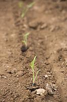 Fennel plants <br /> Picture Tim Scrivener 07850 303986 <br /> scrivphoto@btinternet.com<br /> ….covering agriculture in the UK….