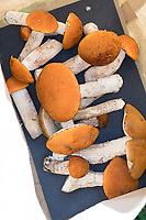 Gesammelte Rotkappen, Pilze sammeln, Rotkappen-Ernte, Pilzernte, Pilzkorb, Pilzgericht, Espen-Rotkappe, Espenrotkappe, Weißstielige Rotkappe, Laubwald-Rotkappe, Rotkappe, Rothaut-Röhrling, Kapuziner, Leccinum leucopodium, Leccinum rufum, Leccinum aurantiacum, red-capped scaber stalk, Red-cap boletus, Orange-cap Boletus, Red Capped Scaber Stalk