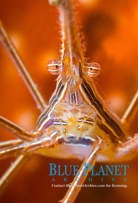 portrait of a Yellowline Arrow Crab (Stenorhynchus seticornis), Riviera Beach, Florida, USA, Atlantic Ocean