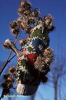 BD03-002a  Burdocks - burdock seeds on glove, seed dispersal - Arctium minus