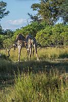 Africa, Botswana, Africa; Botswana; Okavango Delta, Khwai private reserve, juvenile male giraffe.