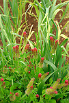 Monticello. Thomas Jefferson estate vegetable garden Crimson clover