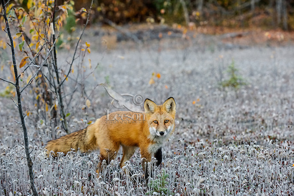Red Fox (Vulpes vulpes) on frosty morning along the Liard River near the Yukon/British Columbia border.  Sept.