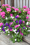 DOUBLE WAVE PETUNIA MIX AND GERANIUM IN POT ON PATIO