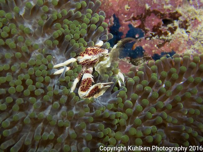 Porcelain crab on anemone, Bohol, Philippines 2016