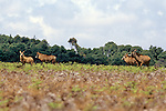 Nyika Roan Antelope