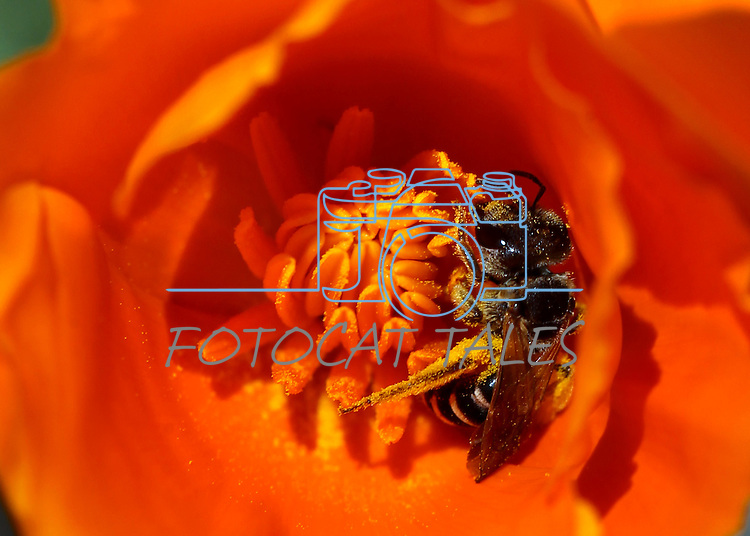 A bee works in a California poppy Saturday, June 11, 2011, in Gardnerville, Nev. .Photo by Cathleen Allison