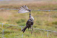 Vogel stirbt an Stacheldraht, Zaun, Stacheldrahtzaun, Tod durch Draht in der Landschaft, Bird dies of barbed wire, fence, barbed wire fence, death by wire in the countryside, barbwire. Rotdrossel, Rot-Drossel, Drossel, Turdus iliacus, redwing, La Grive mauvis