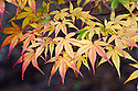 Autumn foliage of Japanese maple (Acer palmatum 'Katsura'),early November.
