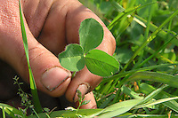 Red clover in a silage grass sward.