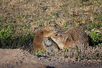 Prairie Dogs, San Angelo, Texas