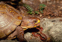 Large ornate box turtle mouth open and tongue out pauses from eating an earthworm steak  garden among ferns and rocks, side view close up