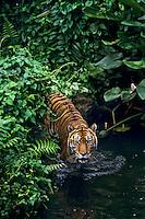 Sumatran Tiger (Panthera tigris sumatrae) wading in shallow tropical rainforest stream.