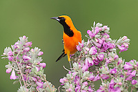 Hooded Oriole (Icterus cucullatus), male perched on Texas Sage (Leucophyllum frutescens), Laredo, Webb County, South Texas, USA