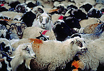 Sheep on the Quinghai route - Central Tibet