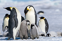 Snow Hill Island, Antarctica. Pair of adults accompanied by two chicks.