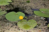 Gelbe Teichrose, Teichrose, Mummel, Nuphar lutea, Brandy Bottle, Yellow Pond Lily, Yellow Water Lily, Nénuphar commun, Schwimmblatt-Pflanze, Schwimmblattpflanze