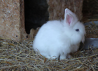 Stock image of white small rabbit looking scared.