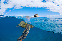 green sea turtle, Chelonia mydas, lifts it's head above the surface for a breath, an endangered species, Maui, Hawaii, USA, Pacific Ocean