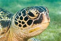 Green sea turtle, Chelonia mydas, Puerto Galera, Philippines, Pacific Ocean