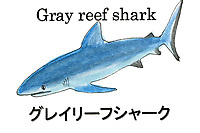 Gray Reef Shark, Carcharhinus amblyrhynchos. Illustration