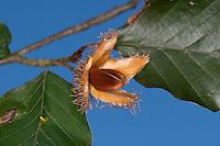 Buche, Rot-Buche, Rotbuche, Früchte, Buchecker, Bucheckern, Fagus sylvatica, Common Beech