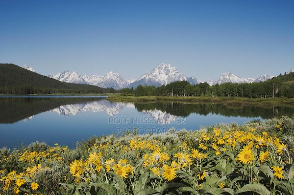 Arrowleaf Balsamroot (Balsamorhiza sagittata) and Grand Teton range, Oxbow Bend, Grand Teton National Park, Wyoming, USA