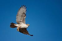 Ferruginous Hawk, New Mexco roadside