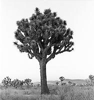 Joshua Tree<br />