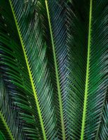 Cycad. Sego Palm. Tropical Gardens of Maui. Maui, Hawaii.