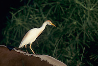 Cattle Egret, Bubulcus ibis , adult on cows back, Kauai, Hawaii, USA, August 1997