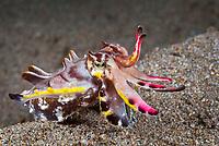 flamboyant cuttlefish, Metasepia pfefferi, Dauin, Philippines, Visayan Sea, Pacific Ocean
