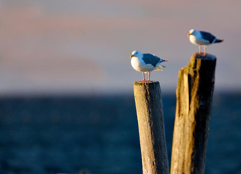 Seaguls on old pier posts. Near Sequim Washington.