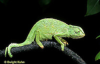 CH02-024z  African Chameleon - showing curled tail  holding onto branch - Chameleo senegalensis